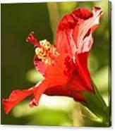 Hibiscus Loving Sun Canvas Print