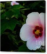 Hibiscus Mutabilis Flower Canvas Print