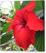 Hibiscus Red Canvas Print