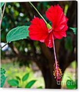 Hibiscus Rosa-sinensis / China Rose Flower Canvas Print