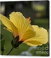 Hibiscus 'sunny Wind'  3407 Canvas Print