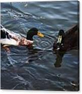 Hibred Ducks Swimming In Beech Fork Lake Canvas Print