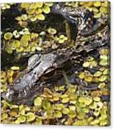 Hiding Alligator Canvas Print