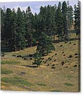 High Angle View Of Bisons Grazing Canvas Print