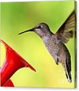 High Flying Hummingbird Canvas Print