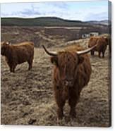 Highland Cattle Gang Canvas Print