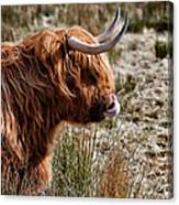 Highland Coo With Tongue In Nose Canvas Print
