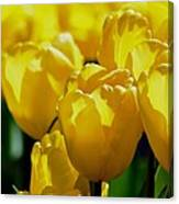 Hill Of Golden Tulips Canvas Print