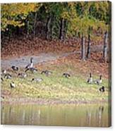 Hillside Of Canadian Geese Canvas Print