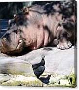 Hippo And Friend Canvas Print