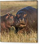 Hippo Cow And Calf Canvas Print
