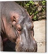 Hippo Hair 1 Canvas Print