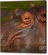 Hippopotamus With Its Head Just Above Water Canvas Print
