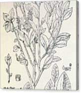 Historical Art Of Coca Plant Canvas Print
