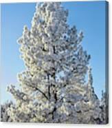 Hoar Frost Ponderos Pine Tree, Sundance Canvas Print