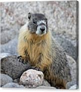 Hoary Marmot Canvas Print