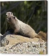 Hoary Marmots Canvas Print