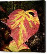 Hobblebush Canvas Print