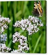 Hogweed Canvas Print