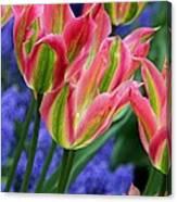 Holland Tulips Canvas Print