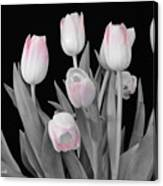 Holland Tulips In Black And White With Pink Canvas Print