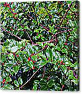 Holly Bush - Canvas Print