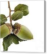 Holm Oak Branch With Acorns Canvas Print