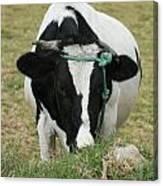 Holstein Cow Eating Canvas Print