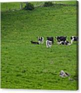 Holsteins Canvas Print