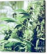 Home Grown Cannabis Plants. Canvas Print
