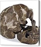 Homo Neanderthalensis Cranium (tabun 1) Canvas Print