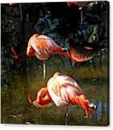 Homosassa Springs Flamingos 5 Canvas Print
