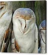 Homosassa Springs Snowy Owls 1 Canvas Print