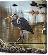 Homosassa Springs Waterfowl 8 Canvas Print