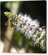 Honey Bee 3 Canvas Print