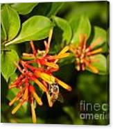 Honey Bee 6 Canvas Print