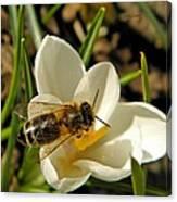 Honey Bee And Crocus Canvas Print