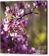 Honey Bee And Redbud Canvas Print