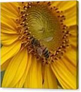 Honey Bee Close Up On Edge Of Sunfower...  # Canvas Print