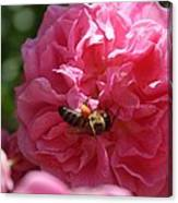 Honey Bee Collecting Pollen On A Pink Rose Canvas Print