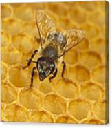 Honey Bee Colony On Honeycomb Canvas Print