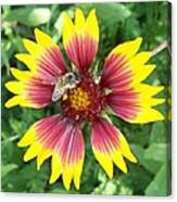 Honey Bee On A Indian Blanket Canvas Print