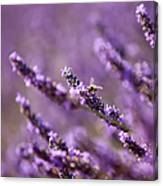 Honey Bee In Lavender Canvas Print