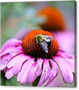 Honey Bee On A Pink Daisy Canvas Print