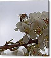 Honey Bee On Almond Blossom   #9636 Canvas Print