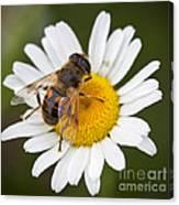 Honey Bee On Daisy Canvas Print