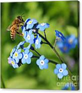 Honey Bee On Forget-me-not Flowers Canvas Print