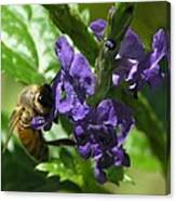 Honey Bee On Purple Flower Canvas Print