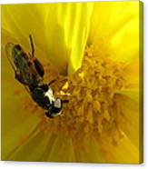 Honey Bee On Sunflower Canvas Print