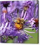 Honeybee And Aster Canvas Print
